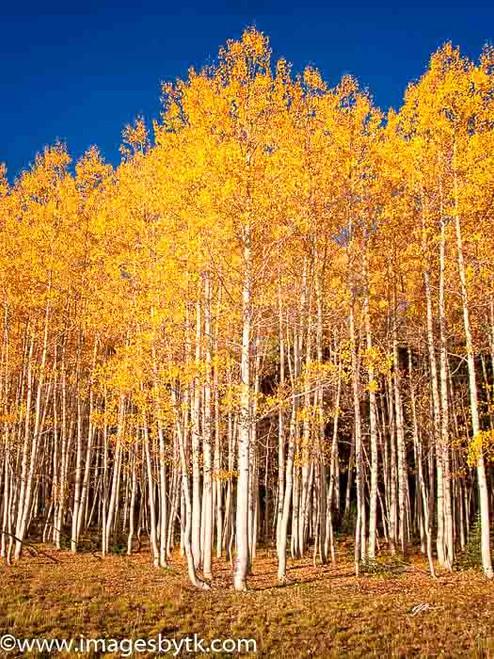 Aspen Trees Forest - Arizona