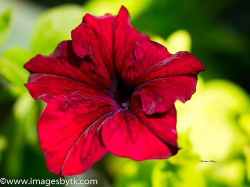 Petunia Fine Art Photograhy for Sale