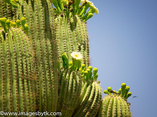 Saguaro Flowers Fine Art Photograhy for Sale
