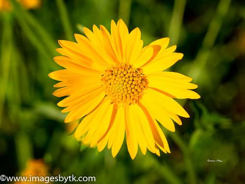 Yellow Wildflower- Arizona Fine Art Photograhy for Sale