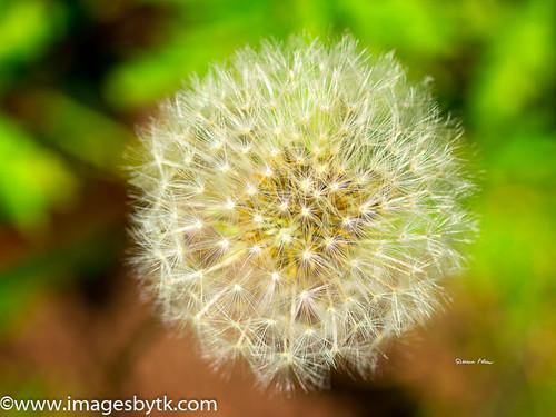 Salsify (Large Dandelion) - Arizona Fine Art Photograhy for Sale