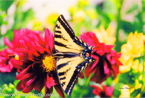 Butterfly and Dahlias Fine Art Photograhy for Sale