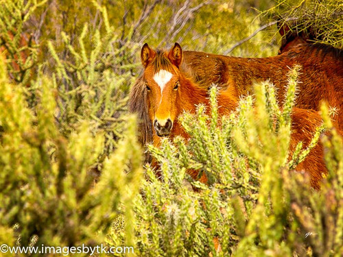 Colt and Cactus - Salt River Wild Horses Arizona