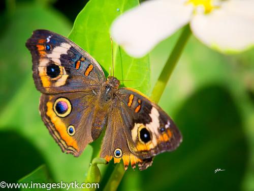 Buckeye Butterfly Fine Art Photograhy for Sale