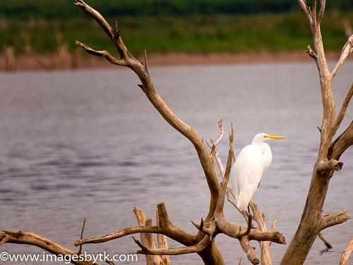 Egret - Arizona