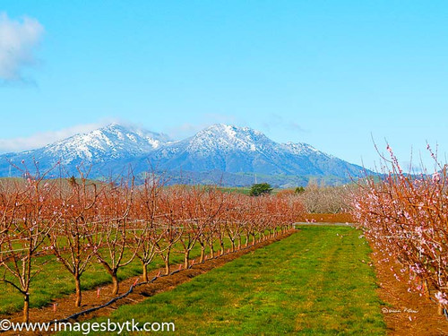 Snow On Mt. Diablo, Cherry Blossoms - Brentwood - California Fine Art Photograhy for Sale