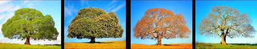 Four Seasons of the Califorina Buckeye