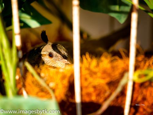 Mama Quail In Flower Basket Nest - Arizona Fine Art Photograhy for Sale