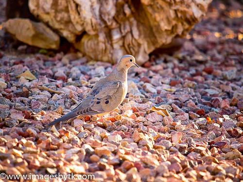 Morning Dove Beauty - Arizona Fine Art Photograhy for Sale