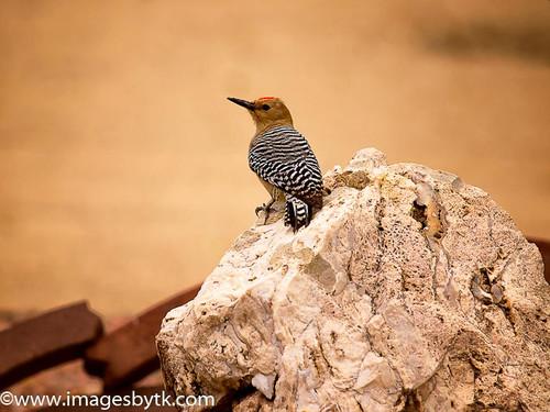 Gila Woodpecker - Arizona Fine Art Photograhy for Sale