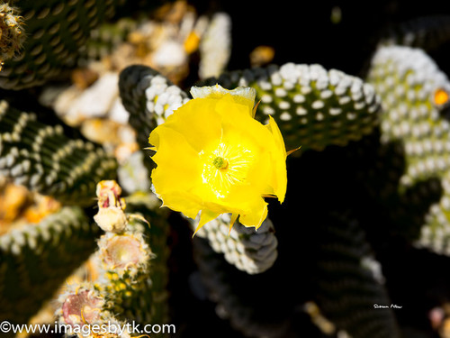 Golden Prickly Pear