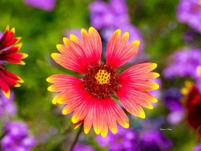 Arizona Sun Flower