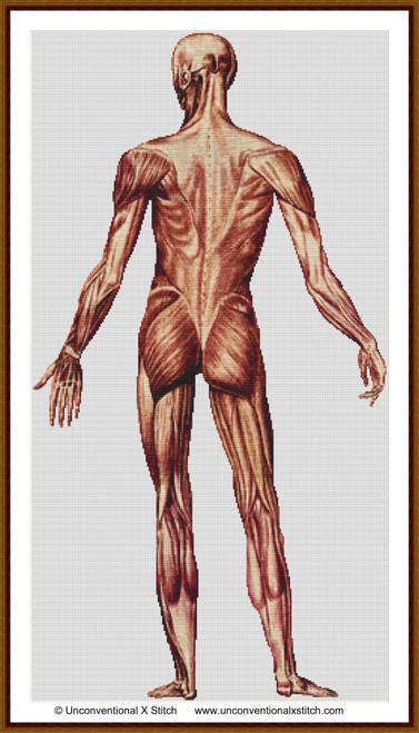 Male Human Anatomy Back cross stitch pattern