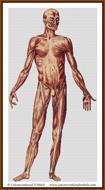 Male Human Anatomy Front cross stitch pattern