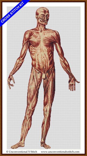 Male Human Anatomy Front cross stitch kit