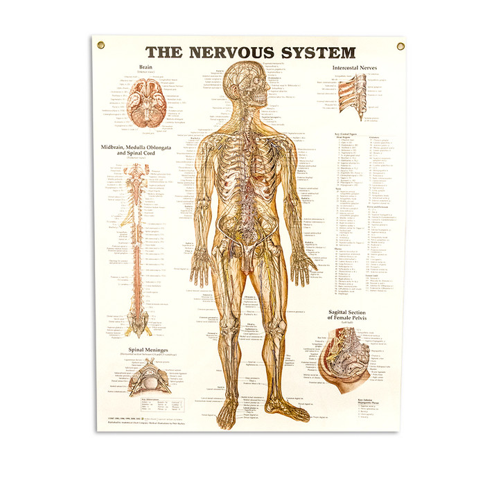 "THE NERVOUS SYSTEM CHART 20"" W X 26"" H, LAMINATED"