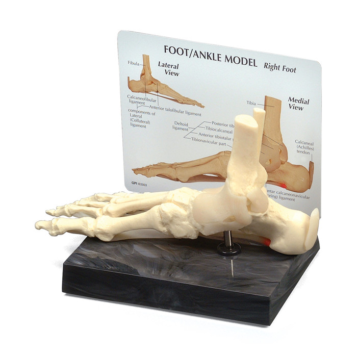 "FOOT AND ANKLE MODEL 9"" X 2-3/4"" X 4"""