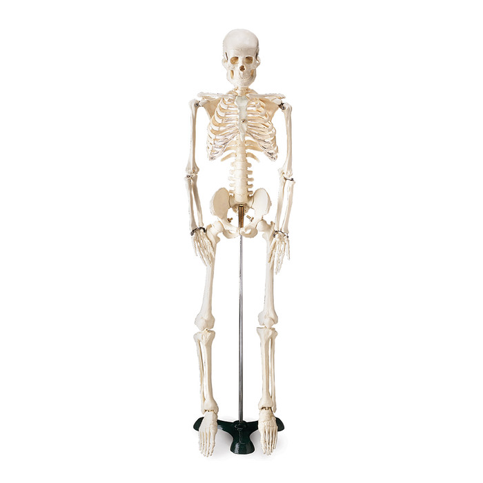 THRIFTY SKELETON, 33-1/2""