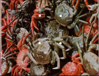 Ai Weiwei, Crabs, 2010