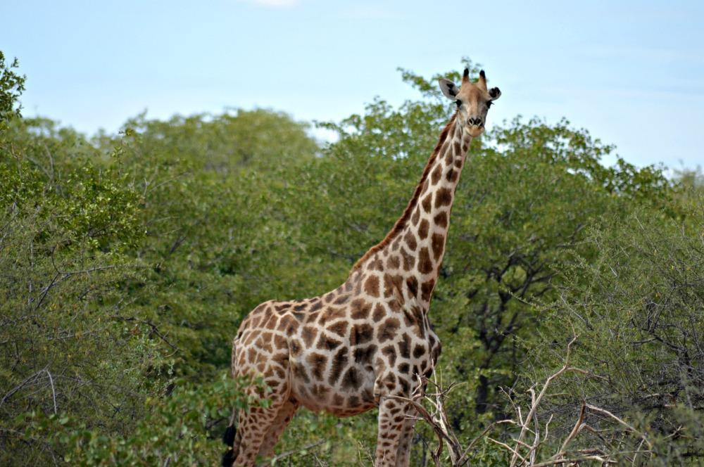 Giraffe Namibia Jessie On a Journey