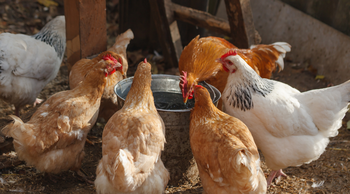 Colloidal Silver For Chickens