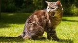 Feline Hyperthroidism