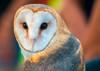 Owl, Barn - Postcard