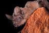 Bat, Brazilian Free-Tailed MAG