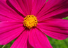 Mexican Aster - Postcard