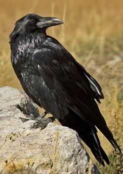 Raven - Postcard