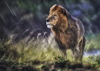 Lion in Rain - Postcard