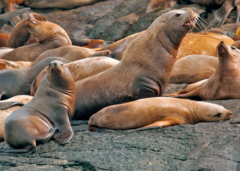 Sea Lion Steller Postcard