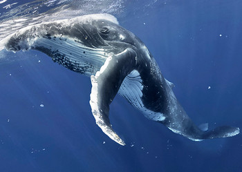 Whale, Humpback - Postcard