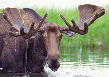 Moose in water - Postcard