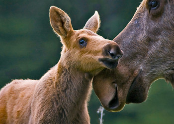 Moose with calf - Postcard