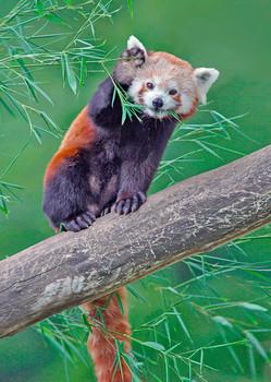 Panda, Red - Postcard