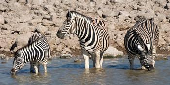 Zebra Long Card