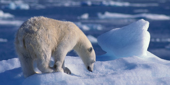 Bear Polar long