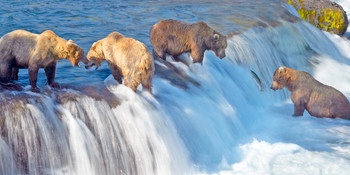 Bear Grizzly fishing long