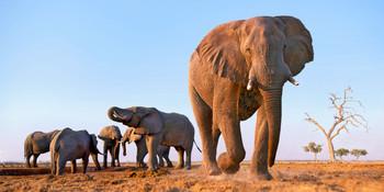 Elephant walking Long Card