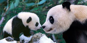 Panda nose to nose Long Card