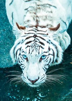 Tiger Bengal White - Postcard