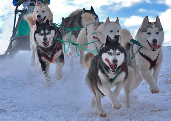 Dogs, Sled dogs - Postcard