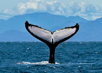 Whale Humpback fluke 2 - Postcard