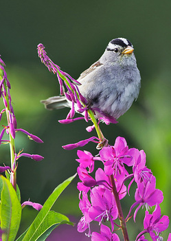 Sparrow - Postcard