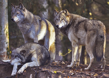 Wolf pack - Postcard