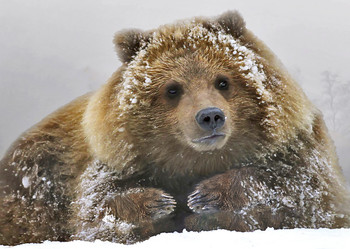 Bear Grizzly snow - Postcard