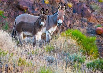 Donkey and foal - Postcard