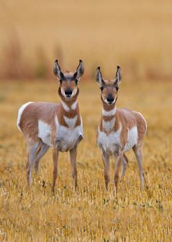 Antelope, Pronghorn  - Postcard