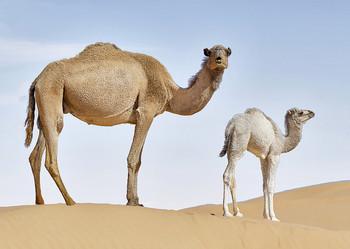 Camel, Dromedary - Postcard